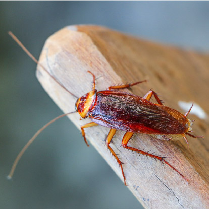 滅蟑螂, 天然滅曱甴方法-01