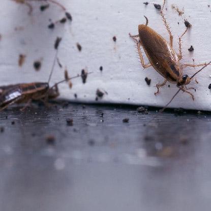 滅蟑螂, 天然滅曱甴方法-02