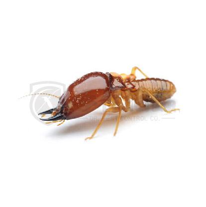 滅蟲服務, 滅白蟻