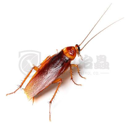 滅蟲服務, 滅蟑螂