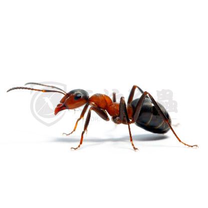 滅蟲服務, 滅蟻