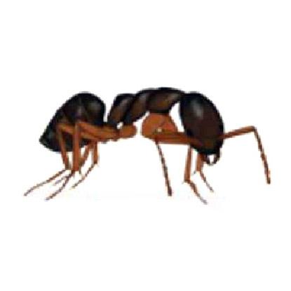 滅蟻, 天然滅蟻, 滅蟻公司 -臭家蟻