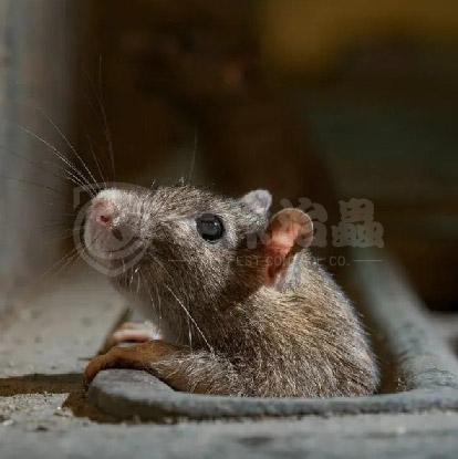 除鼠, 消滅老鼠, 滅鼠公司-01